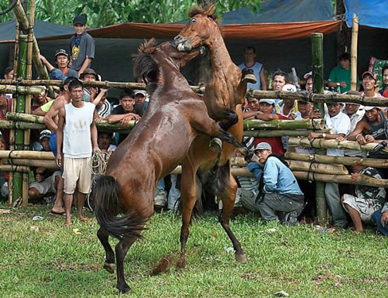 horse_fight