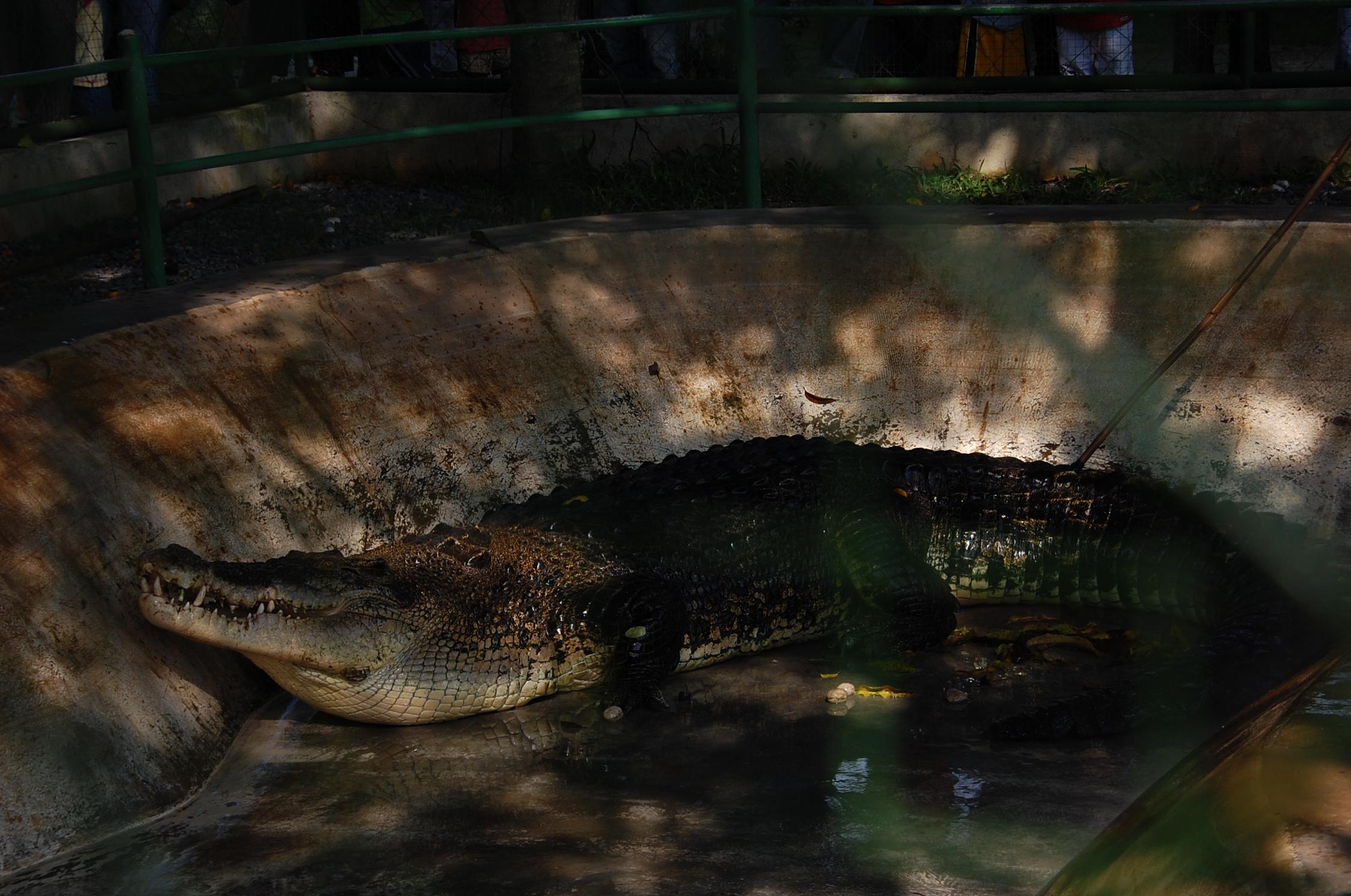 Pangil crocodile